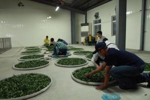 烏龍茶製造の「做青」